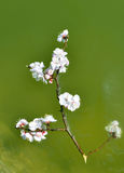 Peach blossom in water Royalty Free Stock Image
