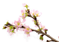 Peach blossom in a white background Royalty Free Stock Photos