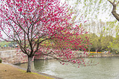 Peach blossom and Xiling bridge in Gushan road. This photo was taken in West Lake Cultural Landscape of Hangzhou, Zhejiang province, china Royalty Free Stock Photography
