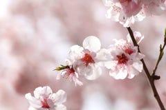 Peach blossoming Stock Photos