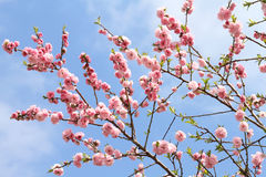 Peach blossoming Stock Photos
