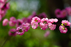 Peach blossoming. Open, beautiful colors, vibrant, in contrast to the spring of peach Royalty Free Stock Photo