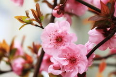 Peach blossoming open. Peach blossom symbolizes spring, love, beauty and the ideal world; branches and trees for exorcism, in the folk witchcraft faith from all Royalty Free Stock Image