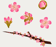 Peach Blossoms Stock Image