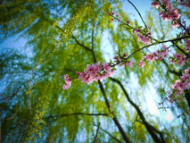 The Peach blossoms. The beautiful peach blossoms in Hangzhou Royalty Free Stock Image