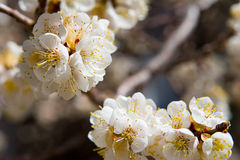 Peach blossoms. Closeup of peach blossoms int he spring Royalty Free Stock Image