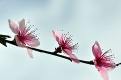 Peach blossoms. Three peach blossoms are blooming in line in early spring Stock Photography
