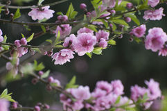 Peach blossoms. Pink peach blossoms in spring Royalty Free Stock Images