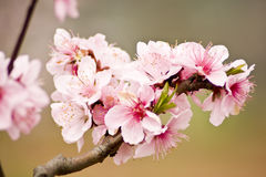 Peach blossoms Stock Photos