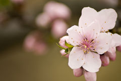Peach blossoms Stock Images