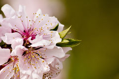 Peach blossoms Royalty Free Stock Images