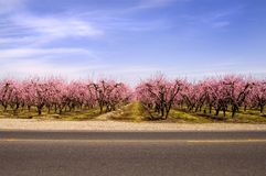 Peach Blossoms Across the Stre Royalty Free Stock Image