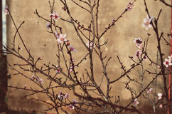 Peach blossoms Royalty Free Stock Photo