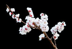 Peach blossoms on the black background Stock Image
