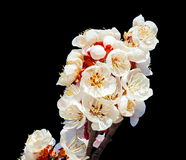 Peach blossoms on the black background Royalty Free Stock Photos