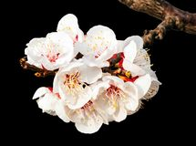 Peach blossoms on the black background Royalty Free Stock Images