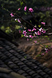 Peach blossoms in black background Stock Photo