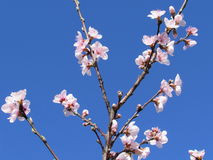 Peach Blossoms on Branches Against a Blue Sky Stock Photography