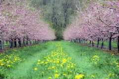 Peach blossoms burst into bloom in a field of dandelions royalty free stock photography