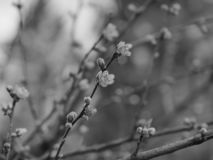 Peach Blossoms - Black and White royalty free stock image