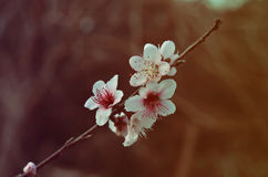 Peach blossoms detail Stock Image