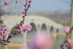 Peach blossoms and faint bridges. Pink peach blossoms, faint bridges, constitute a special artistic atmosphere, suitable for home layout royalty free stock images