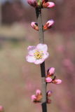 Peach blossoms flower with buds Stock Photo