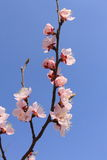 Peach blossoms flower Stock Photography