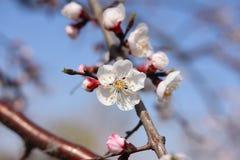 Peach blossoms flower Stock Photos