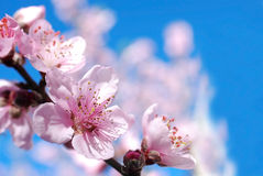 Peach blossoms flower. Closeup of peach blossoms flower in Spring orchard Royalty Free Stock Photo