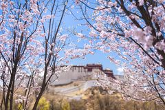 Peach blossoms in front of the potala palace stock photos