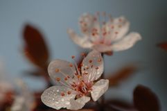 Peach blossom. S are open in March, in the early morning, crystal clear Stock Photos