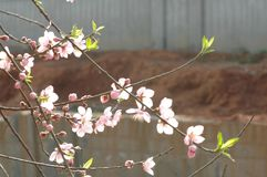 Peach blossom. S are open in March, in the early morning, crystal clear Royalty Free Stock Image
