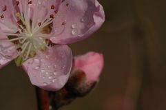 Peach blossom. S are open in March, in the early morning, crystal clear Royalty Free Stock Images