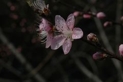 Peach blossom. S are open in March, in the early morning, crystal clear Stock Photo