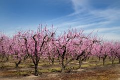 Peach Blossoms Orchard Stock Photo