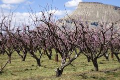 Peach Blossoms on Orchard Mesa Stock Image