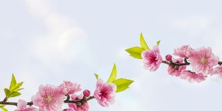 Peach Blossoms  with space for your texts Stock Photography