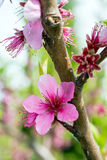 Peach blossoms Royalty Free Stock Photography