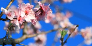 Peach blossoms Royalty Free Stock Image