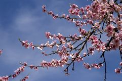 Peach Blossoms Up Close Stock Image