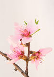 Peach Blossoms - vertical Stock Photography