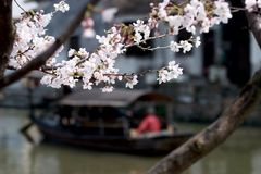 Peach blossoms of Xitang Royalty Free Stock Image
