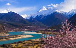 The peach blossoms in the Yarlung Zangbo riverside. Wild peach blossom , Yarlung Zangbu Grand Canyon, Namjagbarwa snow mountain ,beautiful spring of tibet ,like royalty free stock photos