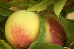 Peach on Bough. Nature closeup Stock Photography