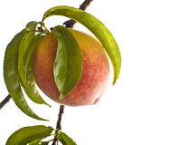 Peach on branch Royalty Free Stock Photography