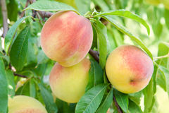Peach on a branch Stock Photo