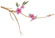 Peach branch Stock Photography