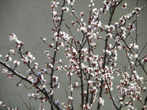 Peach. Branch of peach blossom in spring Royalty Free Stock Image