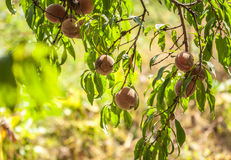Peach on branch Stock Photography